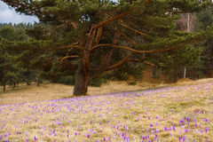 Violet crocus field Royalty Free Stock Photography