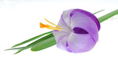 Violet crocus flower Stock Image