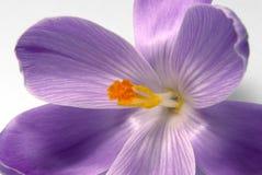 Violet crocus flower closeup Stock Photo