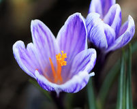 Violet crocus flower macro isolated on blurred background. Stock Image