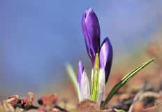 Violet crocus Stock Photo