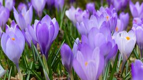 Violet crocus flowers Stock Image
