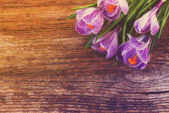 Violet crocus flowers Royalty Free Stock Photo