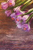 Violet crocus flowers Royalty Free Stock Images