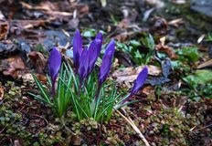 Violet crocus flowers bloomed in the forest in the early spring stock photography