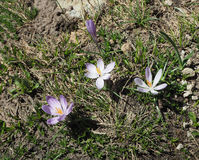 Violet Crocus flowers blooming from dirty ground Royalty Free Stock Photos
