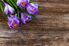 Violet crocus flowers Royalty Free Stock Photography