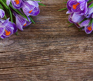 Violet crocus flowers Stock Photography