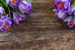 Violet crocus flowers Royalty Free Stock Photos