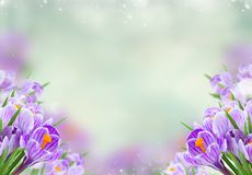 Violet crocus flowers. Frame on gray spring bokeh background Stock Photography
