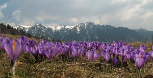 Violet crocus flowers - mountains landscape. Violet crocus flowers with mountains covered with snow in the background Royalty Free Stock Image