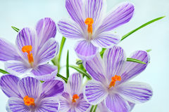 Violet crocus - fresh spring flowers. Floral nature spring background. Stock Photos