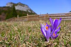 Violet crocus in meadow. Malino Brdo, SLovakia Stock Photo