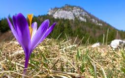 Violet crocus in meadow. Malino Brdo, SLovakia Stock Image