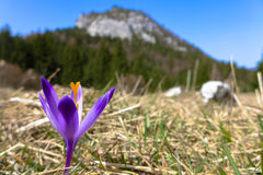 Violet crocus in meadow Stock Photography