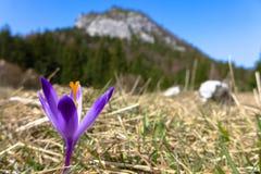 Violet crocus in meadow. Malino Brdo, SLovakia Stock Photography
