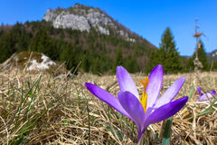 Violet crocus in meadow Royalty Free Stock Photo