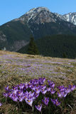 Violet crocus in mountain Stock Images