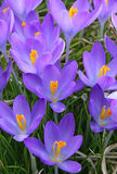 Violet crocus is one of the first spring flowers as spring backg Stock Image