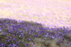 Violet crocus Royalty Free Stock Images