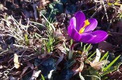 Violet crocus vernus in public park stock photos