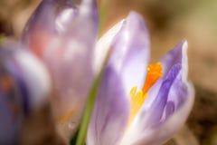Violet crocus vernus. In the garden macro photography stock image