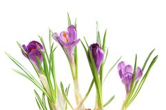 Violet crocuses Stock Photos