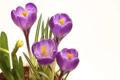 Violet crocuses Stock Images