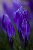 Violet Crocuses Arkivbilder