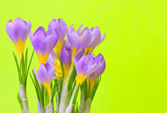 Violet crocuses. On green background Royalty Free Stock Images