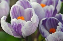 Violet Crocuses royalty free stock photos