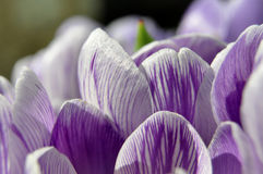 Violet Crocuses Royalty Free Stock Image
