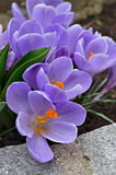 Violet Crocuses Stock Image