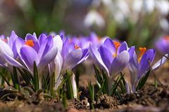Violet crocuses that are beautifully blooming Stock Photos