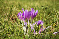 Violet crocuses flower blossoms in autumn field Stock Photo