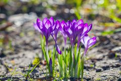 Violet crocuses flowers blooming stock images