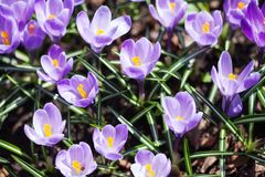 Violet crocuses flowers macro view. Beautiful spring time garden still life. Selective focus photography.  Royalty Free Stock Photos
