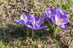 Violet crocuses in the grass close up photo.  Royalty Free Stock Photography
