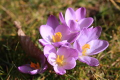 Violet crocuses on grass Royalty Free Stock Image
