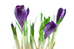 Violet crocuses isolated Stock Image