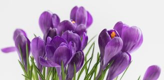 Violet Crocuses. Isolated. Women`s Day Match 8 Spring postcard banner. Violet Crocuses isolated with selective focus Spring postcard concept. Toned stock photo