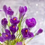 Violet Crocuses no bokeh cinzento com corações Conceito do cartão de março da mola Foto de Stock Royalty Free