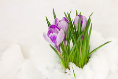 Violet crocuses in snow Royalty Free Stock Images