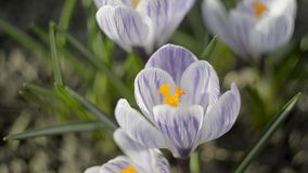 Violet Crocuses In Spring Day. Violet Crocuses In Spring Sunny Windy Day stock video