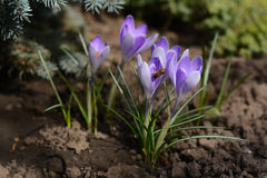 Violet crocuses, spring flowers. Stock Photography