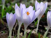 Violet crocuses in spring. Some violet crocuses in spring Royalty Free Stock Photo