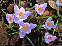 Violet crocuses in spring. Some violet blossoms of crocus Stock Photo