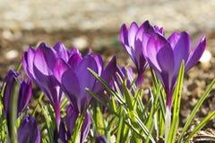 Violet crocuses Royalty Free Stock Images