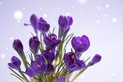 Violet Crocuses sur le fond gris Concept de carte postale de mars de ressort Image stock