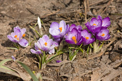 Violet crocuses under sunlight Royalty Free Stock Image